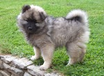 chiot spitz loup
